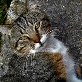 Buddy Boy by Liz Pascal - Animals - Cats Playing (  )