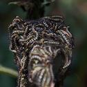 Oruga de mariposa parche carmesí