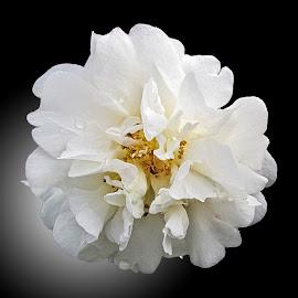 OLI camellia 06 by Michael Moore - Flowers Single Flower (  )