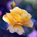 Roses Wallpaper icon