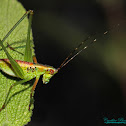 Bush Katydid nymph