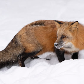 Red Fox by Jack Nevitt - Animals Other Mammals ( red fox, snow, winter, looking, canine, fox )