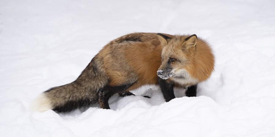 Red Fox by Jack Nevitt - Animals Other Mammals ( red fox, snow, winter, looking, canine, fox )