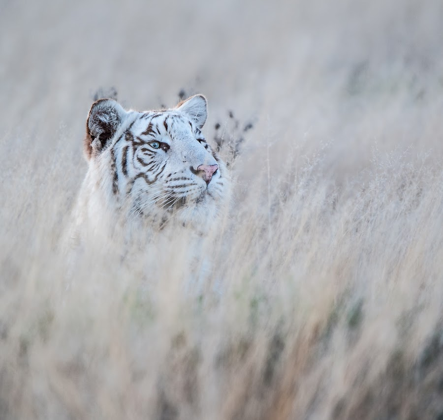 Out of the grass by Johan Barnard - Animals Lions, Tigers & Big Cats ( nature, tiger )