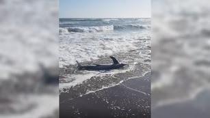 El tiburón varado en Almería.