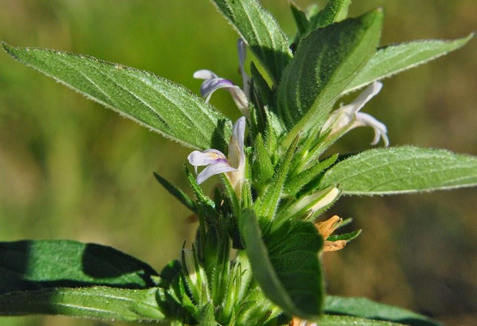 Гигрофила ребристая (Hygrophila costata)