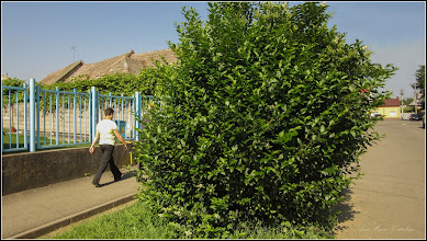 Photo: Lemn câinesc (Ligustrum vulgare)  -  din Turda,  Str. Mihai Eminescu, spatiu verde - 2019.06.15