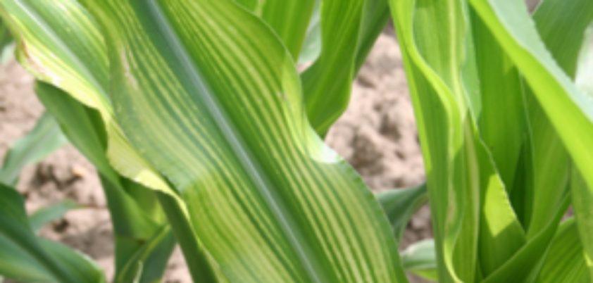 Micronutrientes: deficiência de zinco no milho