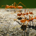 Oecophylla smaragdina 黃猄蟻