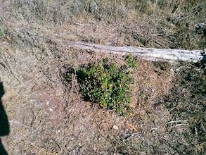 Photo: Heavily eaten oak tree.