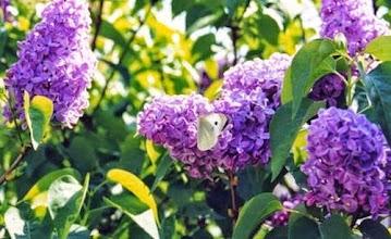 Photo: LILAS. 2014. Un petit parfum de printemps. Au mois de décembre mes lilas avaient commencé à bourgeonner !