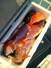 Photo: クマガイさんの釣果。真鯛15匹! オナガも2匹入りました!
