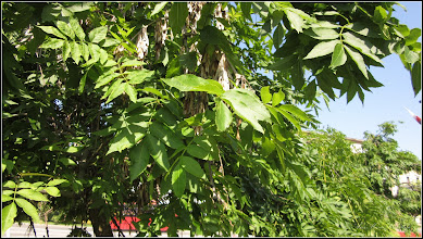 Photo: Fraxinus excelsior Pendula (Frasin pendular) - din Turda, Piata 1 Decembrie 1918, parc - 2019.06.20