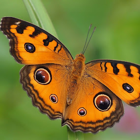 Peacock Pansy by Dedi Sukardi - Animals Insects & Spiders ( butterfly, macro, junonia aimana, animal )
