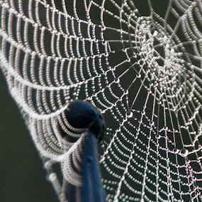Web & Spike by Marie Browning - Nature Up Close Webs ( spike, macro, dew, drops, web,  )
