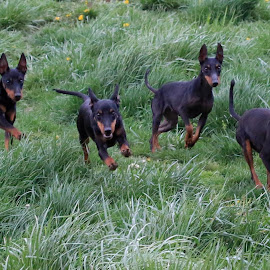 by Mike Munafo - Animals - Dogs Running