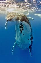 Photo: Humpback whale, Tonga