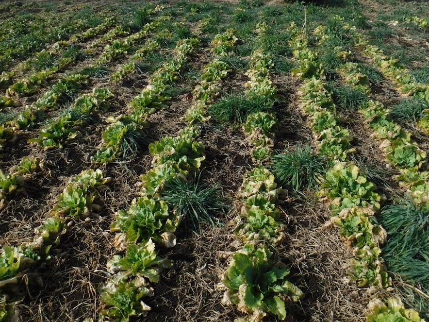 菜花用に防虫ネットなしで栽培している白菜。春が楽しみ。