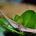 Conehead Vegetable Grasshopper