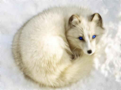 Polar Fox Live Wallpaper