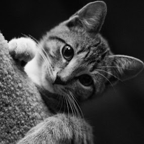 by Miles Scanlon - Animals - Cats Kittens ( kitten, cat )