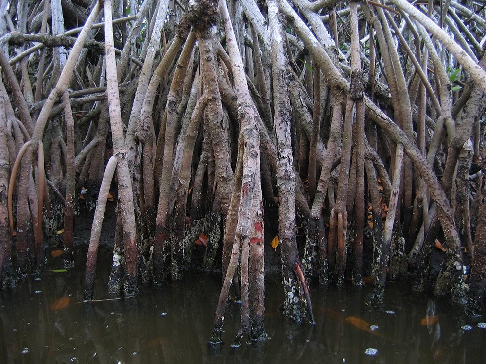 ANSYS - Открытые корневые системы мангровых деревьев помогают предотвратить эрозию почвы и служат источником питания для мальков рыб