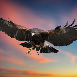 Falconry in action by Sandy Scott - Digital Art Animals ( raptor, sunrise, nature, birds, colors, avian, harris hawk, birds of prey, wings, sunset, skies, hawk in flight, animals, hawk, wildlife,  )