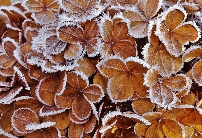 2018-11-27 LüchowSss Garten - Rispenhortensie (Hydrangea paniculata 'Vanille Fraise')