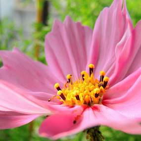 Cosmos flower by  Priyanka Das - Flowers Single Flower ( nature, flower,  )