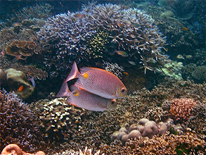 Photo: a pair of yellow-spotted rabbitfish