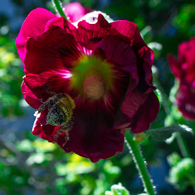 bumblebee in flower by Jason Murray - Uncategorized All Uncategorized ( contest, nature, nature up close, photo, garden, bumblebee, summer, photography, flower )