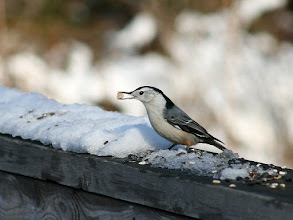 Photo: For #BirdPoker Cuteness Factor curated by +Phil Armishaw  I'll open a proud White-breasted Nuthatch with his trophy; a peanut!