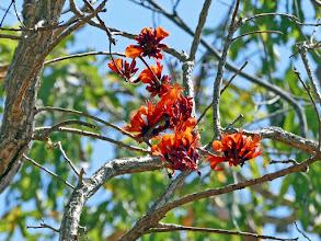 Photo: Day 2 Coral Tree blossom -  © Ian Morris