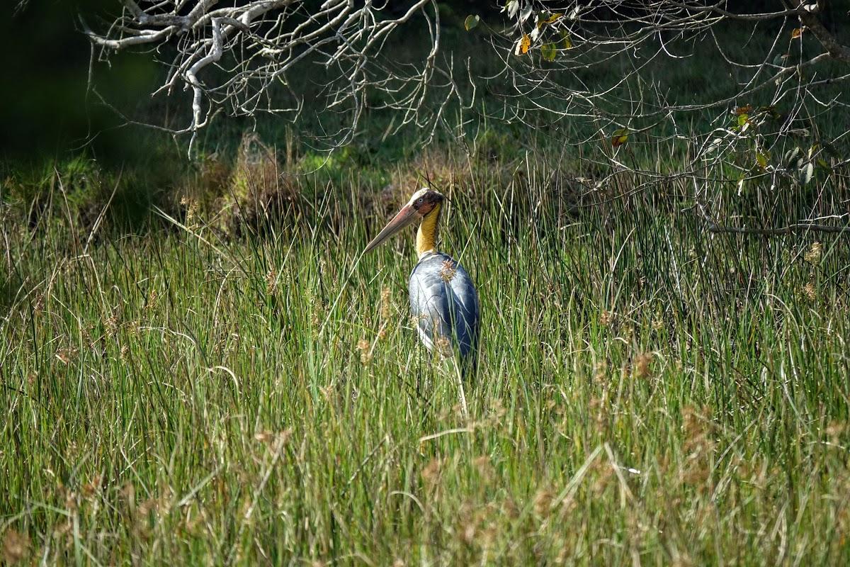 Sri. Lanka Wilpattu National Park . Lesser Adjutants