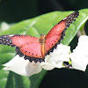 The Red Lacewing