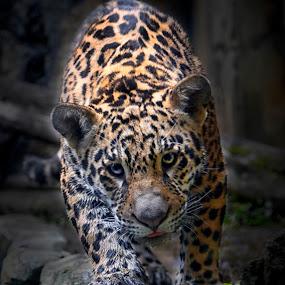 Jaguar (Panthera onca) by Ari Wid - Animals Lions, Tigers & Big Cats ( big cat, jaguar, cat, tiger, panther,  )