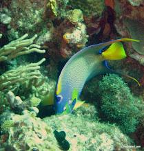 Photo: Queen Angelfish