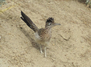 Photo: Greater Roadrunner at Desert Willow  Golf Resort in Palm Desert February 2014