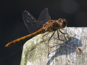 Photo: 17 Jul 13 Priorslee Lake The photo reveals rather more red-colour around the base of the wings but without the all-black legs shown by Ruddy Darter this has to be a Common Darter as I first thought. Neither species is shown as 'common' in Shropshire. (Ed Wilson)