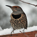 Western red-shafted flicker (female)
