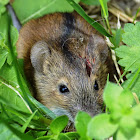 Striped field mouse