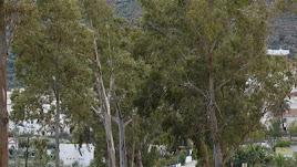 El proyecto de ampliación de la carretera pone en peligro 50 árboles emblemáticos.