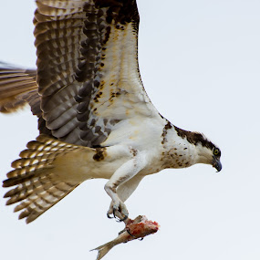 bringing home dinner by Gabriela Zandomeni - Animals Birds ( bird of prey, fish )