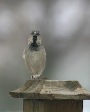 Photo: For #BirdPoker : Cutness Factor curated by +Phil Armishaw  A very curious House Sparrow.