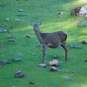 Ciervo común (Red deer)
