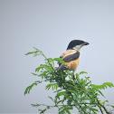 Rufous-backed Shrike
