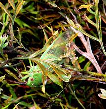 Photo: Year 2 Day 164 - Locust in the Bush