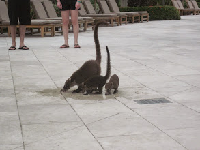 Photo: Mommy and baby coatis at the Westin