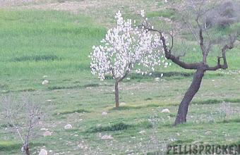 Photo: Minst sagt förvånad när vi åker hem på Nyårsdagen- Mandelträden börjar blomma!  REDAN!  Den 28 Februari blommade dom förra våren. Snacka om tidig vår!!! Eller varm vinter kanske?