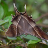 Tropical Swallowtail Moth Or Laos Brown Butterfly
